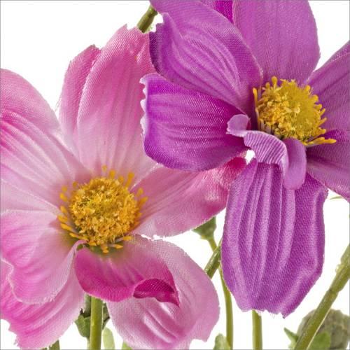 Fiore cosmos rosa e viola 47h