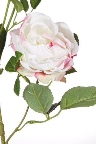 Fiore rosa rustica rosa cipria con boccioli 72h