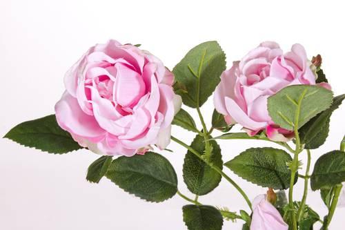 Fiore rosa rustica rosa con boccioli 72h